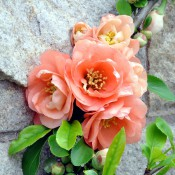 Chaenomeles-x-superba-Cameo-bloom