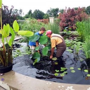 Intern James Stockdale and Arboretum gardener Jeff Jodon working in Lotus Pool