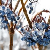 Fruit of <i>Viburnum nudum</i> 'Winterthur'