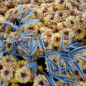 fall-mums-with-morning-frost-A-Gapinsk