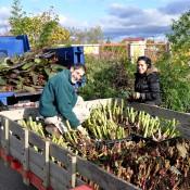 Dick Repsher and Tatiana Calmon, garden volunteers at the Arboretum, preparing Cannas for winter storage