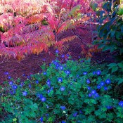 Rhus glabra 'Laciniata' (smooth sumac) and Geranium 'Gerwat' (Rozanne™ cranesbill geranium)