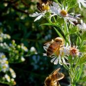 Three busy honeybees in the Pollinators' Garden
