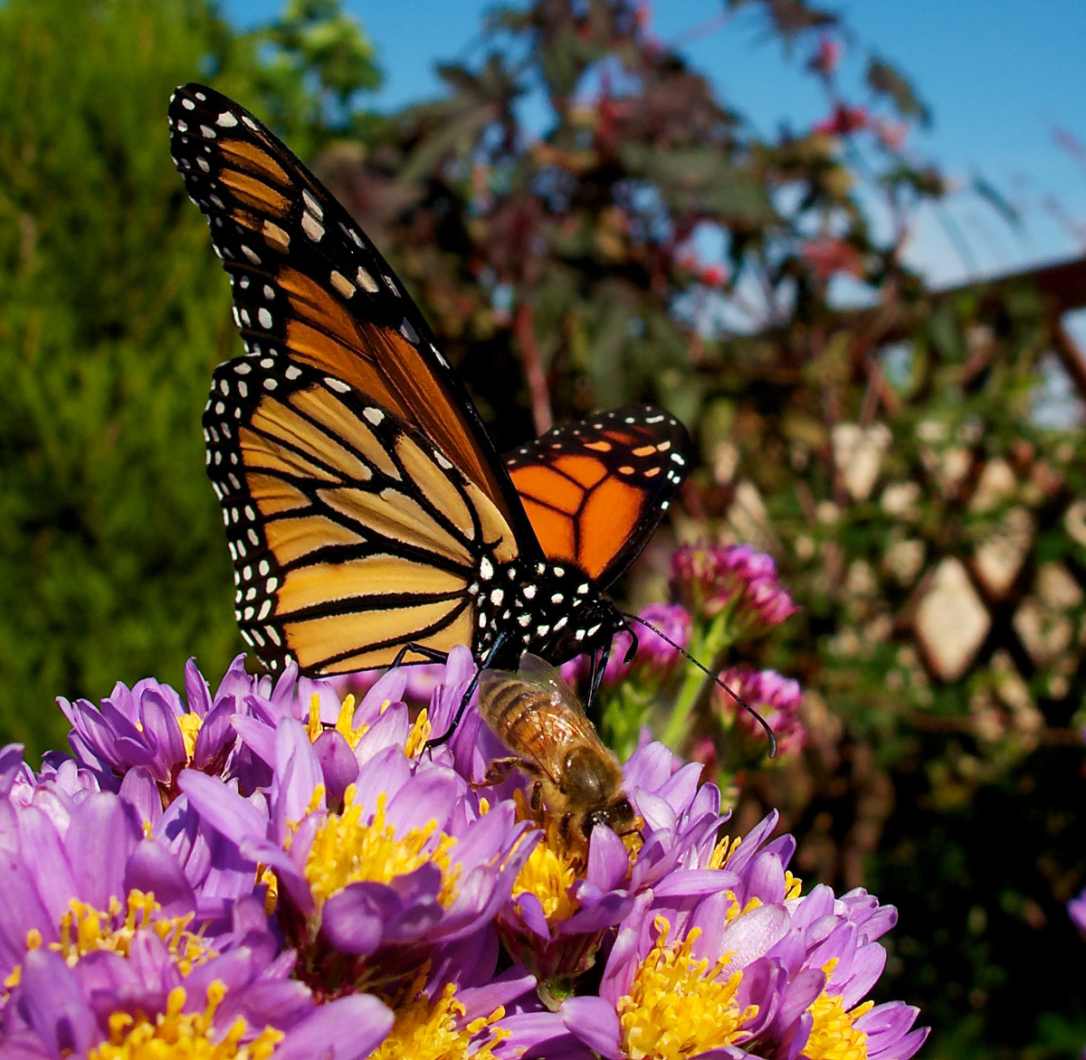 2011-10-23-Last-Monarchs-of-season-on-asters---M.Moss---2011-10-23-at-14-23-41