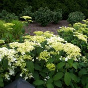 Hydrangea-arborescens-Hayes-Starburst
