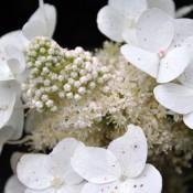 Hydrangea-paniculata-Tardiva-flower