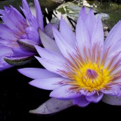 Nymphaea-Blue-Beauty-Tropical-Day-Blooming-Water-Lily