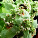 Pycnanthemum muticum (mountain-mint)