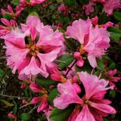 Rhododendron-Olga-Mezitt