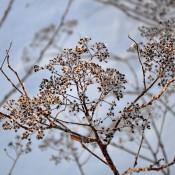 Spiraea-Darsnorm-seed-head