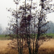 Alnus glutinosa (black alder) in the Ramage Marsh Meadow