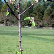 Young apple tree in spring