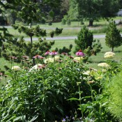 Echinacea cv. (purple coneflower) and Hydrangea arborescens 'Dardom' (White Dome® wild hydrangea)