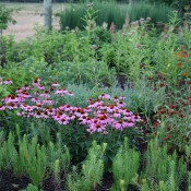 Summer perennial display featuring Echinacea cv. (purple coneflower)