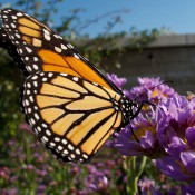 Monarch butterfly on Aster tataricus 'Jindai' (Tatarian aster) - Martha B. Moss