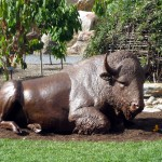 American Bison sculpture near Prairie Patch in children's garden