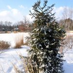 Picea orientalis - winter form (young specimen)