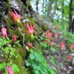 Wild Columbine (Aquilegia canadensis) - Photo by Arboretum