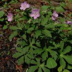 Spotted Geranium (Geranium maculatum) - Photo by Michael Hassler
