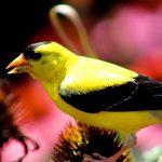 American Goldfinch - Photo by Jason Traverse