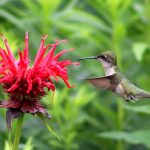 Hummingbird feeding - Photo by Jason Traverse