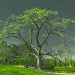 Red elm in spring